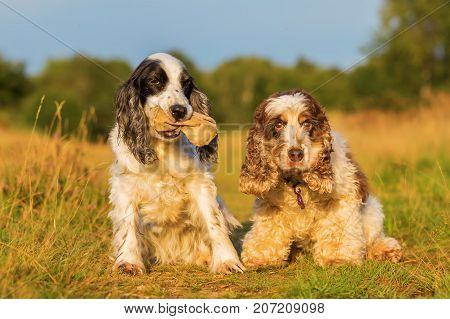 Two Cocker Spaniel Sit On A Country Path
