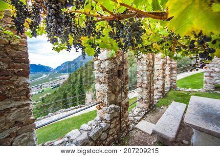 Wine growing at Castello di Avio Trento Italy