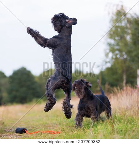 Jumping Standard Schnauzer Dog On A Country Path
