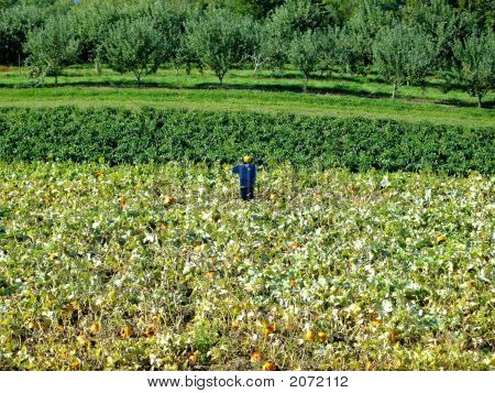 Scarecrow in pumpkin patch on Indian garden farm Bridgewater Lunenburg County Nova Scotia Canada poster