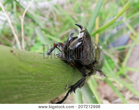 Female beetle has a short horn and male beetle has a long horn