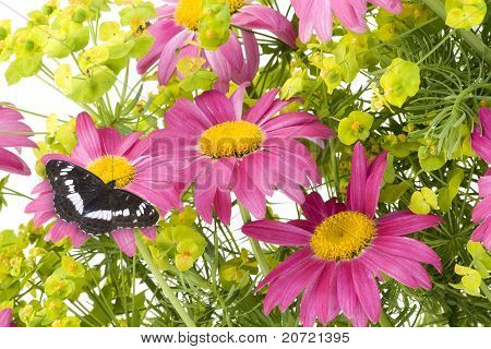 Pink Camomiles And  Black Butterfly  Collage