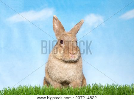 Portrait of a brown bunny sitting in green grass looking slightly to viewers right. Blue background sky with clouds