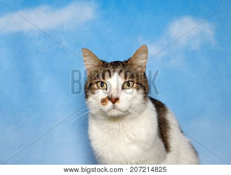 Portrait of a gray and white tabby cat looking directly at viewer. Blue background sky with wispy clouds