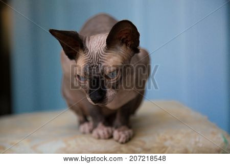 Cute canadian sphinx hairless cat resting alone background
