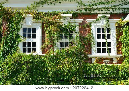 White Window On Green Wall With Climbing Plant. Natural Green Leaf Grass Cover Wall With White Windo