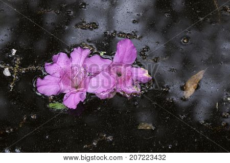 pink azalea blooms floating in a pond