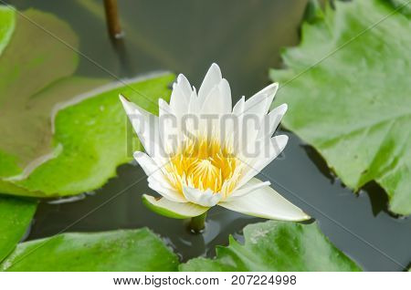 White waterlily flower blossom in a pond