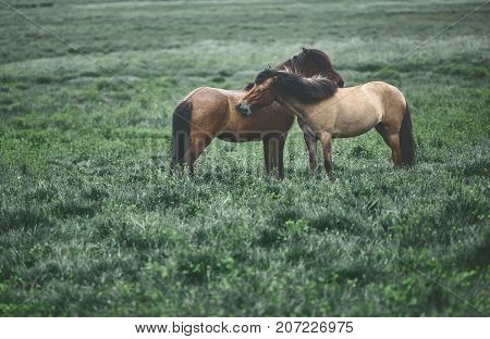 Travel to Iceland. couple horses Hugging each other in a field