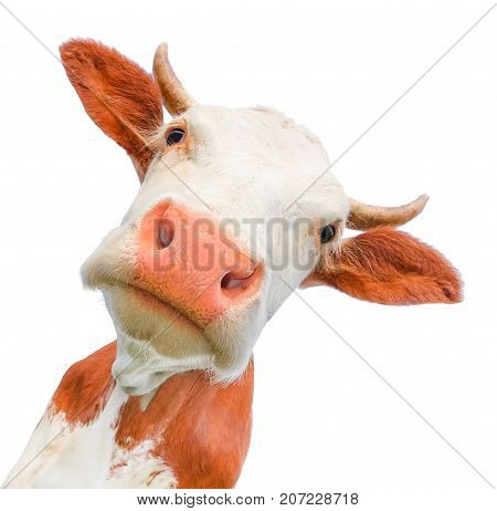 Funny cow looking at the camera isolated on white background. Spotted red and white cow with a big snout close up. Cow muzzle staring close up. poster