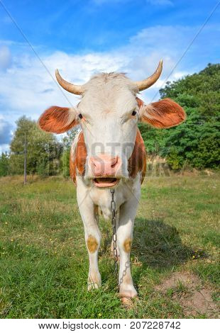 Funny cow with big muzzle staring straight into camera and eating grass. Farm animals. Funny cute red and white spotted cow on the field with bright green grass.