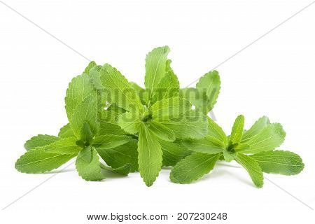 Stevia rebaudiana isolated on a white background