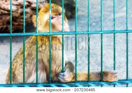 Monkey magot behind bars. Sad smothered. An animal in captivity.