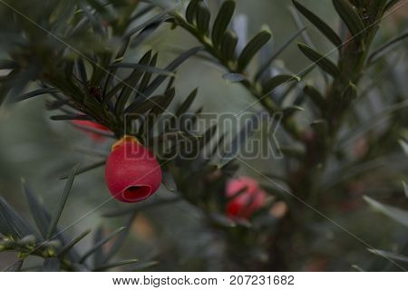 Closeup of english european yew taxus baccata fruits background