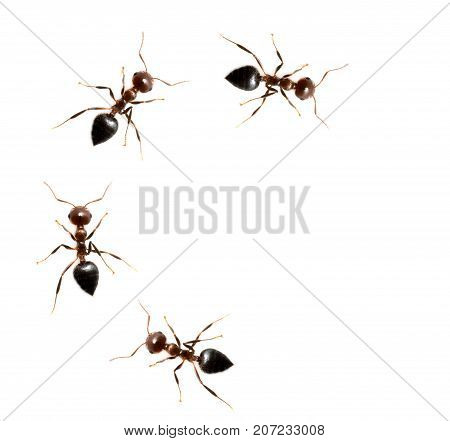 ants on a white background. macro . Photos in the studio