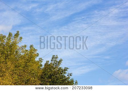 View of a bitch tree with yellow leaves in autumn against clear blue sky on a sunny day in autumn.