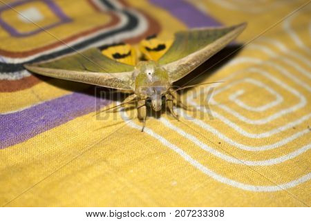 yellow green moth on bed sheet moth background close up upper view yellow green white color design bright eyes horn wings