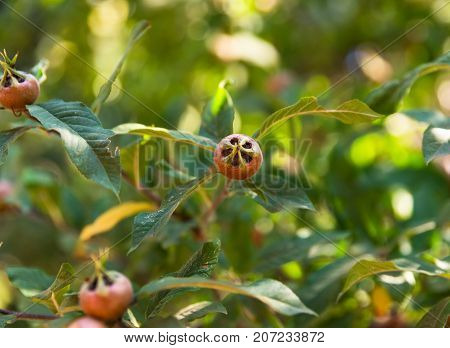 unripe green fruits on a branch of a loquat tree on a summer day