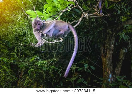 Monkey with vines in the forest  of Malaysia