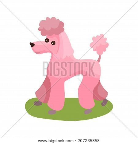Pink poodle dog, purebred pet animal standing on green grass colorful vector Illustration on a white background