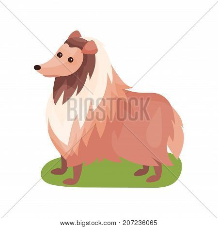 Collie dog, purebred pet animal standing on green grass colorful vector Illustration on a white background