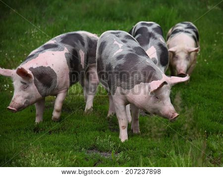 Herd of young pigs grazing on natural environment