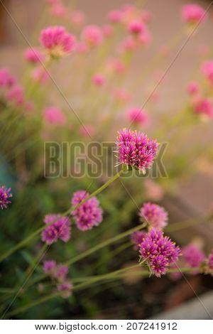 Gomphrena globosa or Fireworks flower. Violet flower in the hard sunlight.