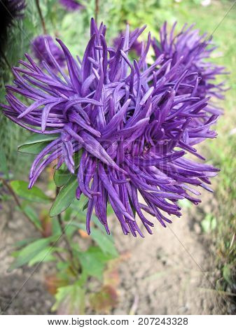 Beautiful violet Aster blooming in the garden. Photo for backgrounds. Color photo of flowers. Aster flowers on a sunny day.