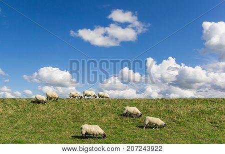 Sheep grazing on a dutch dike near Groningen Netherlands