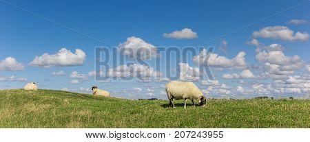 Panorama of dutch white sheep near Groningen Netherlands
