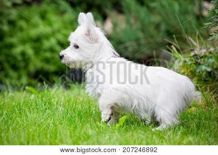 Purebred adult West Highland White Terrier dog on grass in the garden on a sunny day. Puppies are played on the lawn