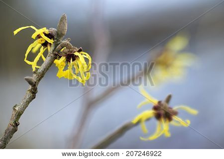 blooming witch hazel (hamamelis mollis) yellow winter flowers on the branches of the natural medicine plant blue sky background selective focus very narrow depth of field