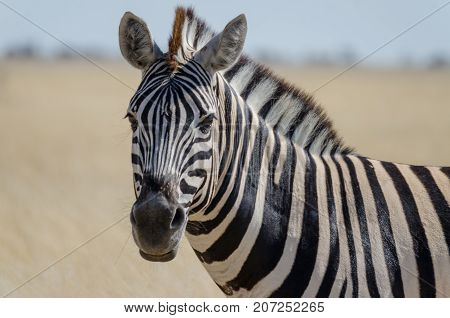 Close-up portrait of Burchells zebra in front of yellow grass, Etosha National Park, Namibia, Southern Africa.