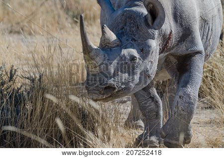 Close-up portrait of head of African black rhino with battle scars and injuries, Etosha National Park, Namibia, Southern Africa.