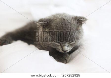 Grey purebred british kitten sleeps on blanket. Close up
