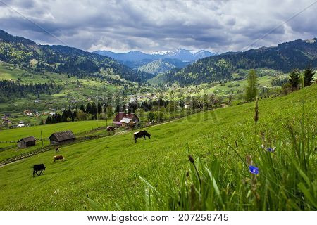 Landscape with a mountain valley and cows