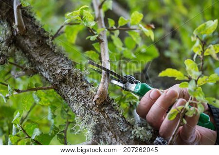 Autumn Agricultural Works, Orchard Maintenance, Branching On Fruit Trees, Agricultural Scissors And
