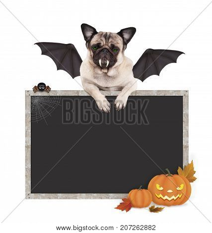 Halloween bat pug dog with paws on blank blackboard sign with pumpkins isolated on white background