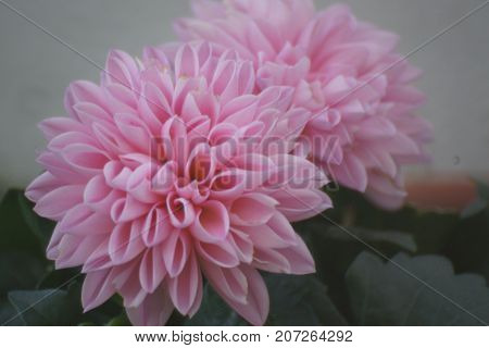 Magnificent flowers of pink color. Beauté of nature.