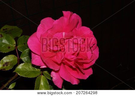 Beauty of the nature, a beautiful pink flower.