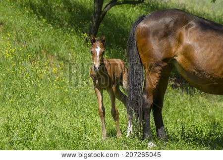 Timorous foal hiding behind mom's back on a spring pasture