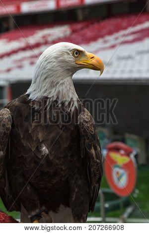 Portrait Of An American Bald Eagle Inside Soccer Stadium