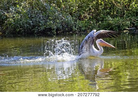 Pelican in the water in the wild
