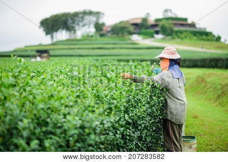 CHIANG RAI THAILAND - AUGUST 19: woman picks tea despite ongoing labor strikes on August 19 2017 in Chiang rai Thailand.