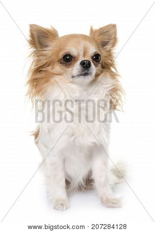 young longhair chihuahua in front of white background