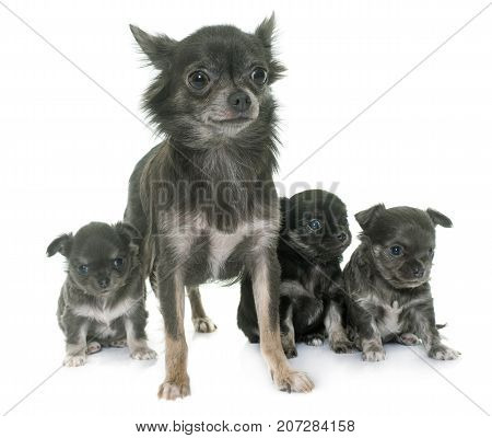 mother and puppies chihuahua in front of white background