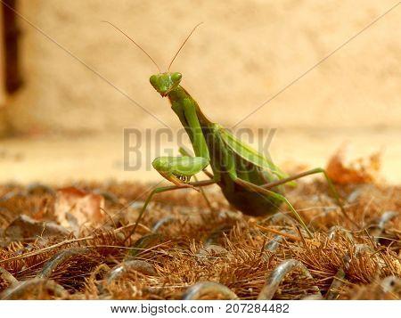 Praying Mantis on crawling across a doormat