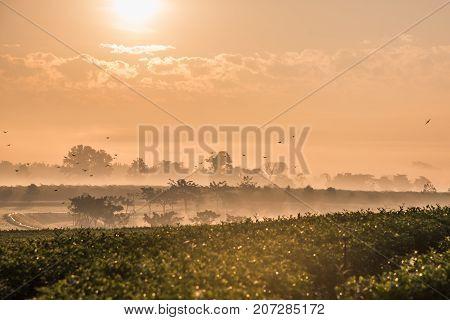 green tea farm in the morning at chiang rai, Thailand