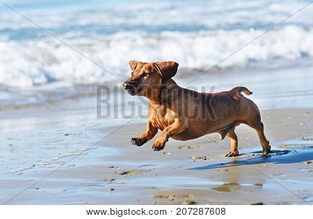 brown dachshund running on the beach in septembre