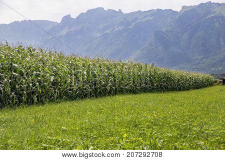 Switzerland August 2017 field corn green field corn in the mountains a cornfield in Switzerland summer field